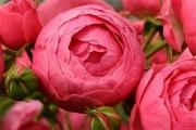 Фото 5 Роза флорибунда (100 фото): сорта, названия, посадка, уход, размножение