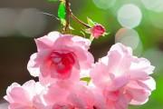 Фото 24 Роза флорибунда (100 фото): сорта, названия, посадка, уход, размножение