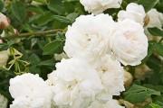 Фото 25 Роза флорибунда (100 фото): сорта, названия, посадка, уход, размножение