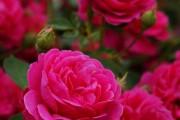 Фото 3 Роза флорибунда (100 фото): сорта, названия, посадка, уход, размножение