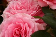 Фото 70 Роза флорибунда (100 фото): сорта, названия, посадка, уход, размножение