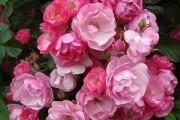 Фото 27 Роза флорибунда (100 фото): сорта, названия, посадка, уход, размножение