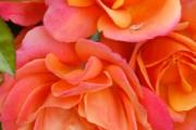Фото 26 Роза флорибунда (100 фото): сорта, названия, посадка, уход, размножение