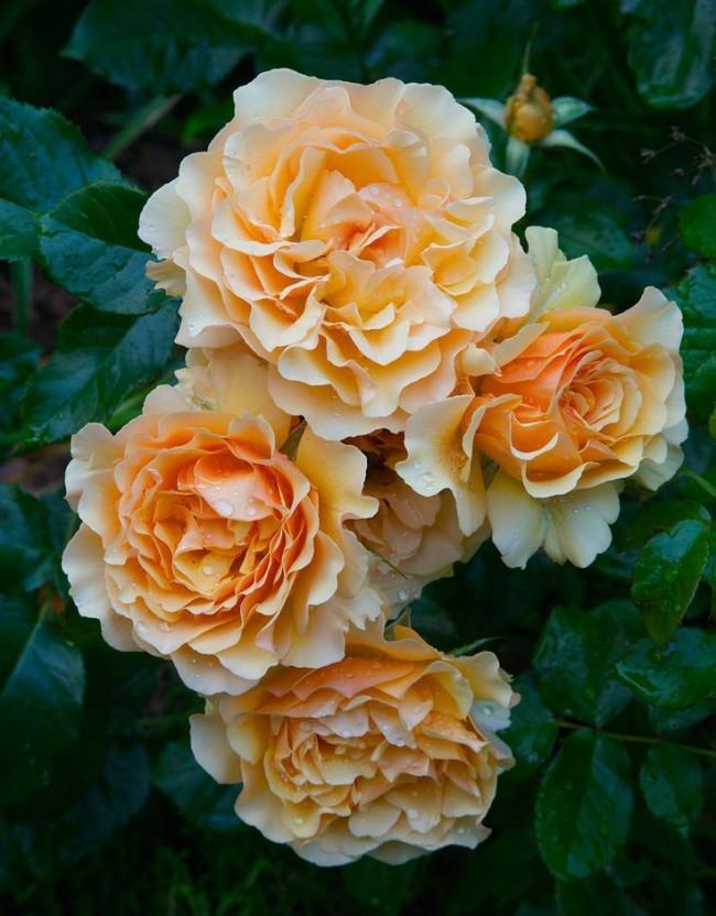 Невероятная роза сорта Amber queen