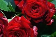 Фото 28 Роза флорибунда (100 фото): сорта, названия, посадка, уход, размножение