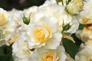 Фото 4 Роза флорибунда (100 фото): сорта, названия, посадка, уход, размножение