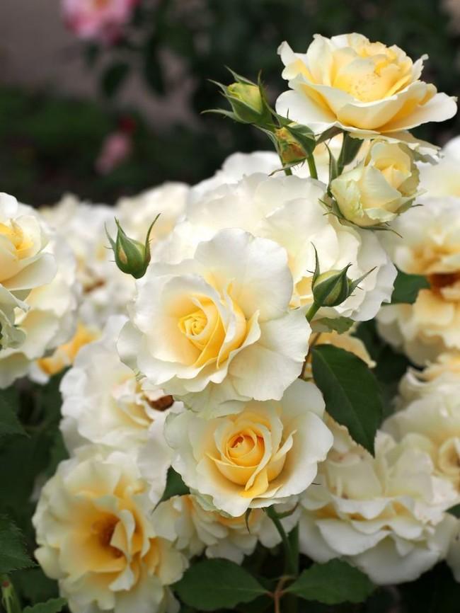 Нежно-кремовая нарядная роза флорибунда
