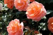 Фото 29 Роза флорибунда (100 фото): сорта, названия, посадка, уход, размножение