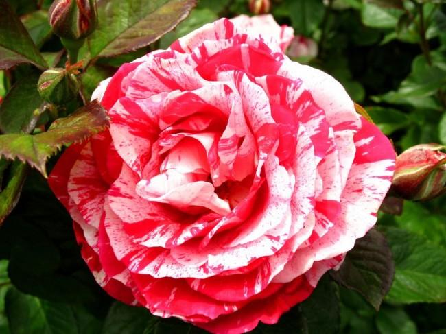 Пестрый цветок сорта Scentimental