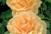 Фото 31 Роза флорибунда (100 фото): сорта, названия, посадка, уход, размножение