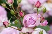 Фото 32 Роза флорибунда (100 фото): сорта, названия, посадка, уход, размножение