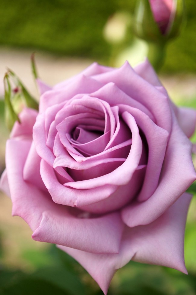 Трогательная и чувственная роза флорибунда Bluebird