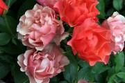 Фото 34 Роза флорибунда (100 фото): сорта, названия, посадка, уход, размножение