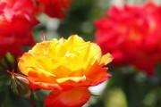 Фото 6 Роза флорибунда (100 фото): сорта, названия, посадка, уход, размножение