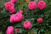 Фото 35 Роза флорибунда (100 фото): сорта, названия, посадка, уход, размножение
