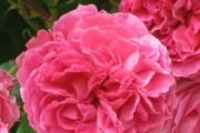 Фото 36 Роза флорибунда (100 фото): сорта, названия, посадка, уход, размножение