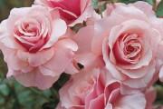 Фото 38 Роза флорибунда (100 фото): сорта, названия, посадка, уход, размножение