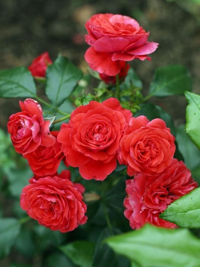 Яркая роза сорта Midsummer