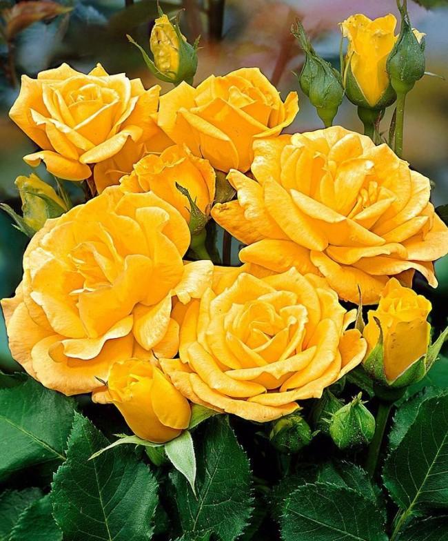 Вспышка солнца на клумбе - роза флорибунда сорта Arthur Bell