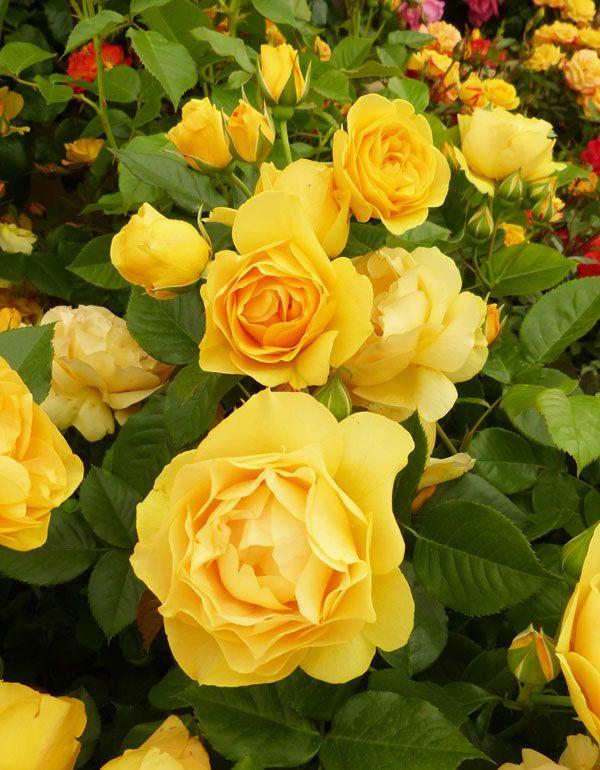 Солнечная желтая флорибунда