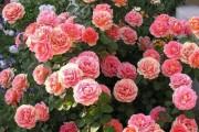 Фото 40 Роза флорибунда (100 фото): сорта, названия, посадка, уход, размножение