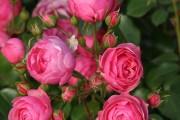 Фото 41 Роза флорибунда (100 фото): сорта, названия, посадка, уход, размножение