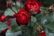 Фото 42 Роза флорибунда (100 фото): сорта, названия, посадка, уход, размножение