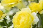 Фото 45 Роза флорибунда (100 фото): сорта, названия, посадка, уход, размножение