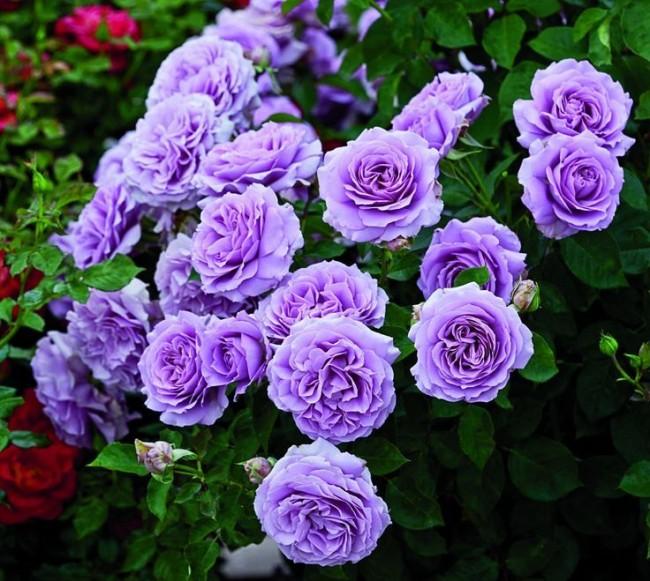 Волшебная роза сорта Love song