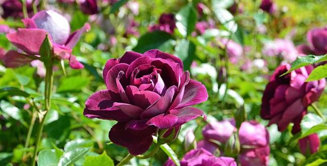 Цветы глубокого бургундского цвета сорта Burgundy Ice