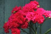 Фото 50 Роза флорибунда (100 фото): сорта, названия, посадка, уход, размножение