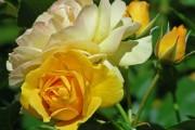 Фото 51 Роза флорибунда (100 фото): сорта, названия, посадка, уход, размножение