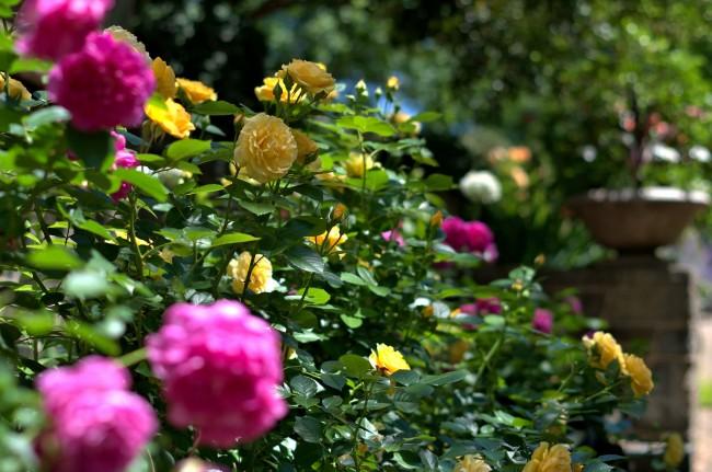 Потрясающее украшение сада - изгородь из роз флорибунда