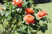 Фото 52 Роза флорибунда (100 фото): сорта, названия, посадка, уход, размножение