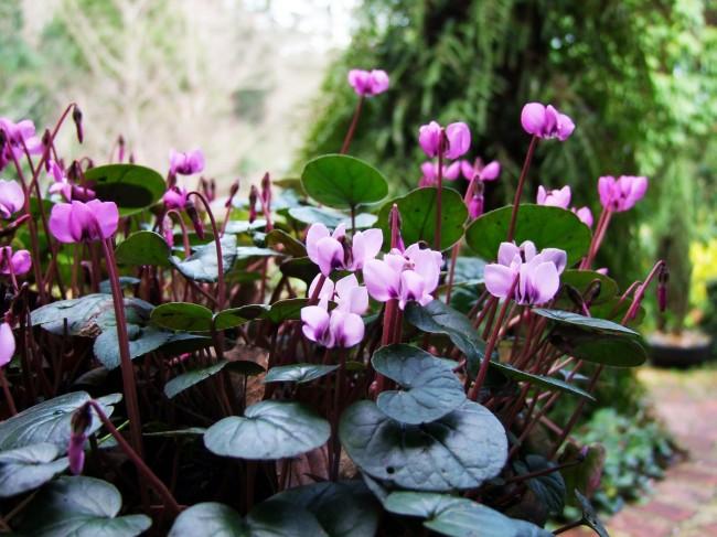 Изысканное растение, знакомое большинству любителей экзотической флоры как альпийская фиалка, носит гордое научное название – цикламен
