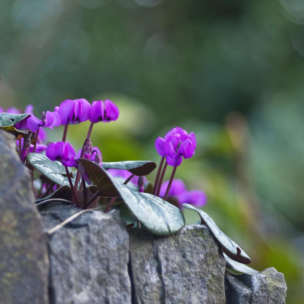 Садовые сорта цикламена хорошо смотрятся на фоне камней в альпинариях