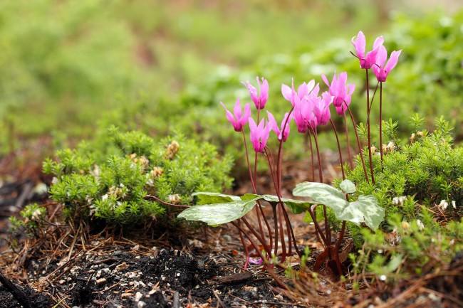 Яркое пятно цветов цикламена среди лесной зелени