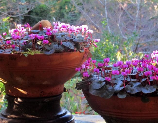 Цикламен европейский - самый северный, в странах с суровым климатом, в том числе и у нас, этот вид цикламена выращивается только как горшечное растение
