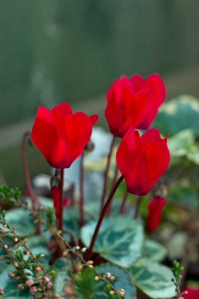 Персидский цикламен отличается от прочих собратьев необычной формой цветков: их яркие лепестки направлены вверх