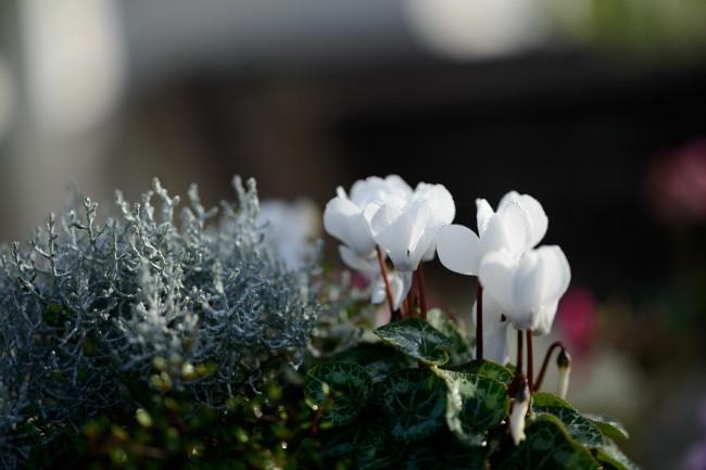 Хрупкие белые цветы цикламена - нежность и невинность