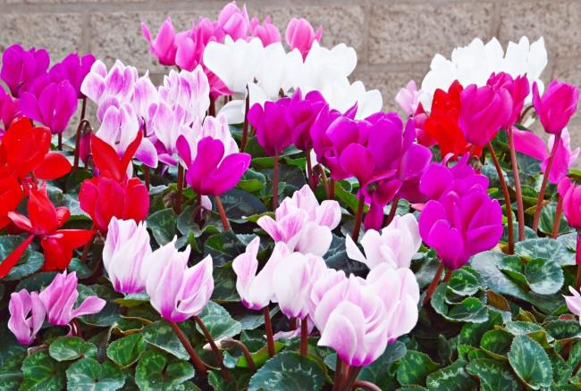 Цветовая палитра цикламена очень широка: выведены гибриды с белоснежными цветками, вся гамма розовых оттенков до темно-красных, бордовых, фиолетовых