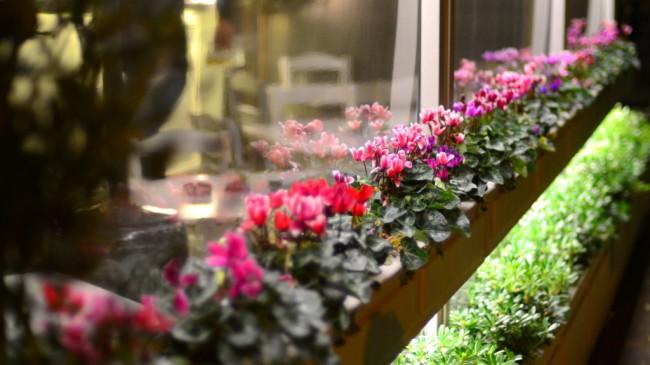 Цикламены, высаженные в длинный вазон, создают необычный, яркий декор помещения