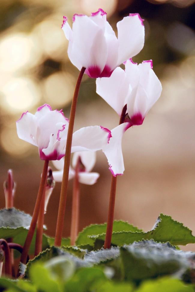 Необычная расцветка цикламена придает растению удивительную легкость и красоту