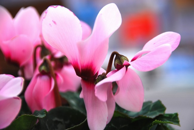 Воздух вокруг цикламена должен быть чистым, на табачный дым и газовый угар это растение реагирует желтизной листьев