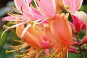 Фото 7 Жимолость (51 фото): виды и сорта, полезные свойства, правила посадки и ухода