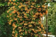 Фото 8 Жимолость (51 фото): виды и сорта, полезные свойства, правила посадки и ухода