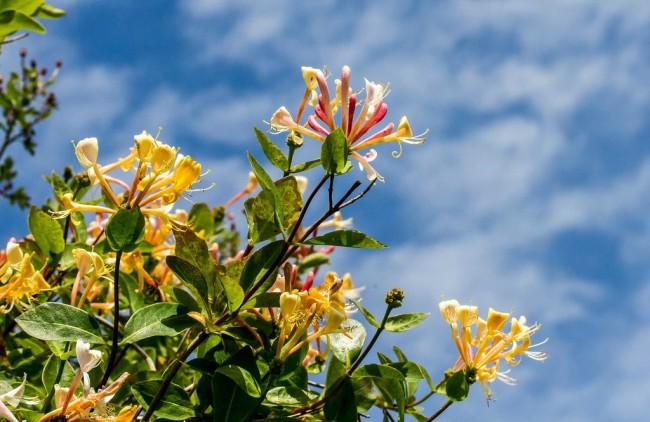 Жимолость (51 фото): виды и сорта, правила посадки и ухода