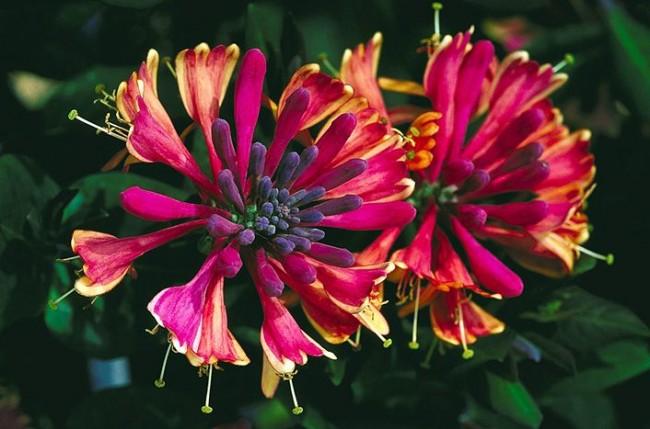 Прекрасный благоухающий цветок жимолости
