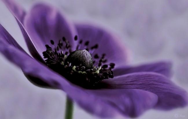Экзотично выглядящая расцветка анемоны: фиолетовые лепестки и почти черная серединка