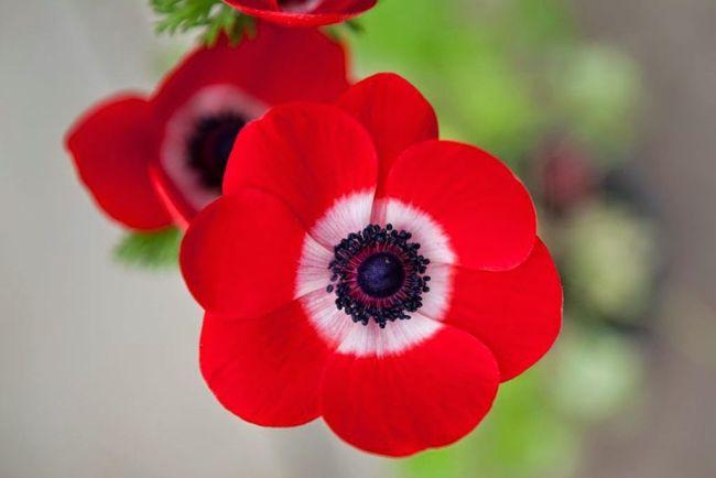 Цветущая макообразная анемона de Caen